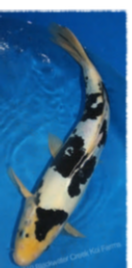 Bekko koi for Mosquito fish for sale