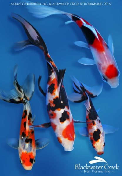 Goldfish info for Koi tank size