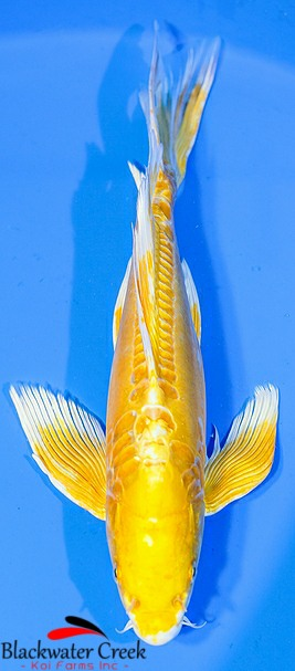 Yellow koi black water koi farms the best koi in the usa for Koi hariwake