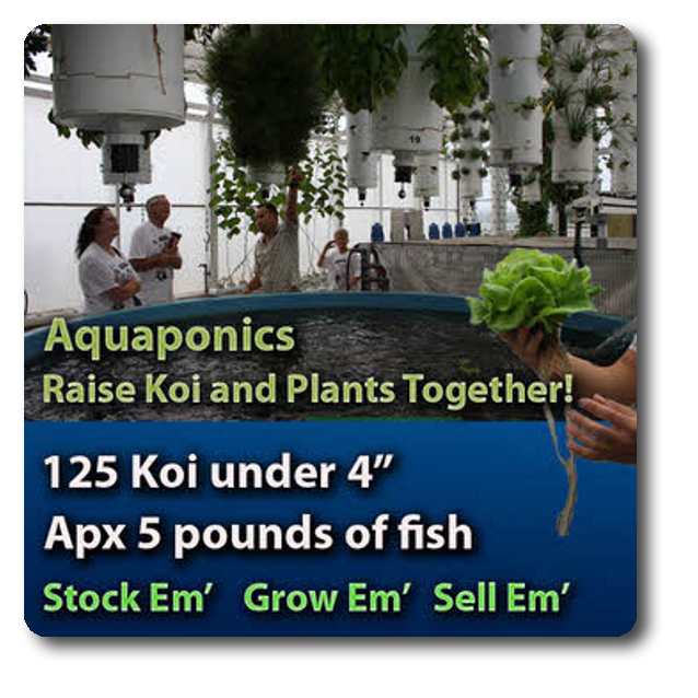 Aquaponics fish stocking pack aquaponic garden fish for Baby koi fish for sale cheap
