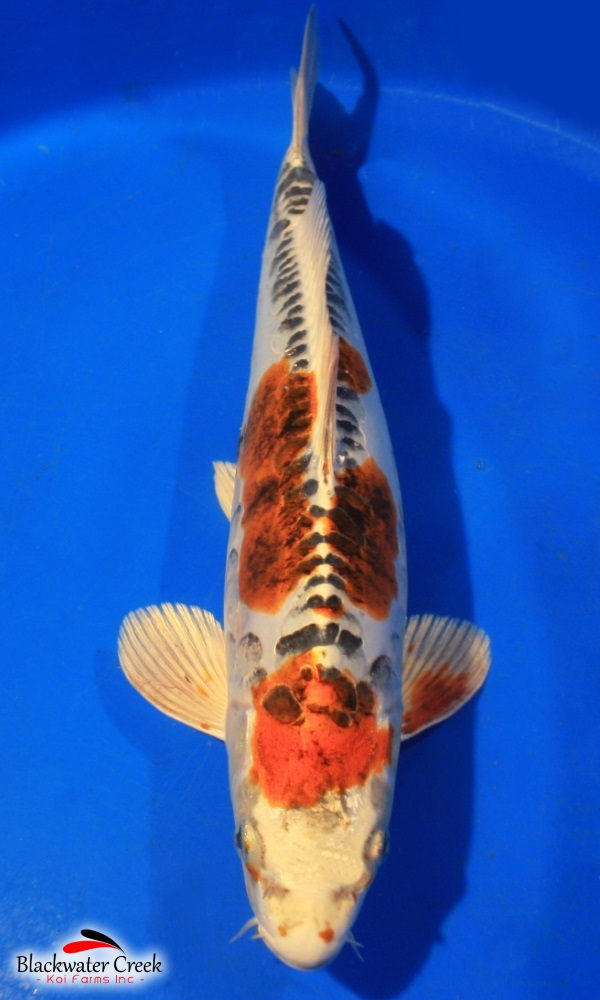 High quality koi fish for sale for Baby koi fish for sale cheap