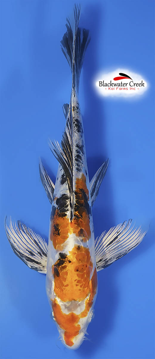 New Products Black Water Koi Farms The Best Koi In The Usa
