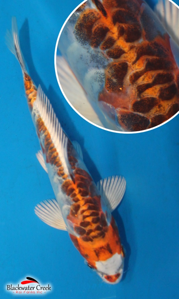 Small high quality koi fish for sale for Small koi fish for sale