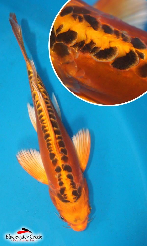 Orenji matsuba butterfly 10 e2329 black for Blue and orange koi fish