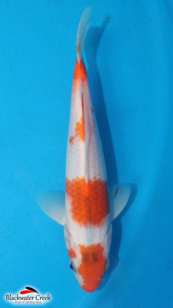 Best Food For Koi Color