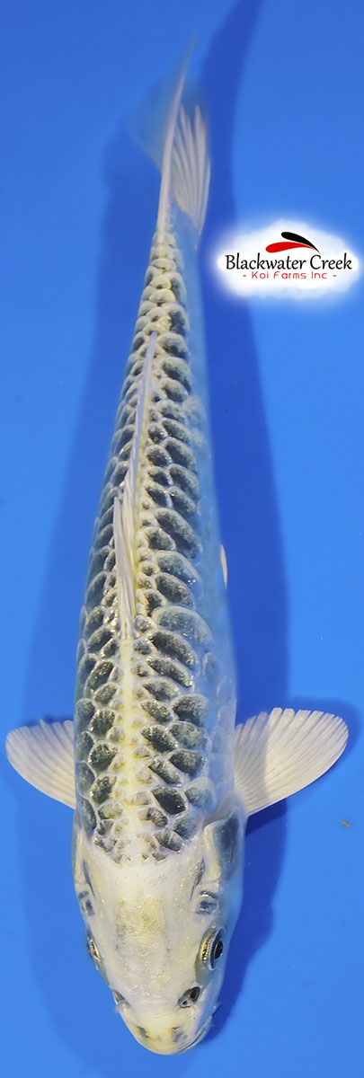 Small high quality koi fish for sale for Green koi fish for sale