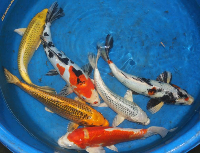 Pick your color mix butterfly free shipping pick your mix for Koi fish lifespan