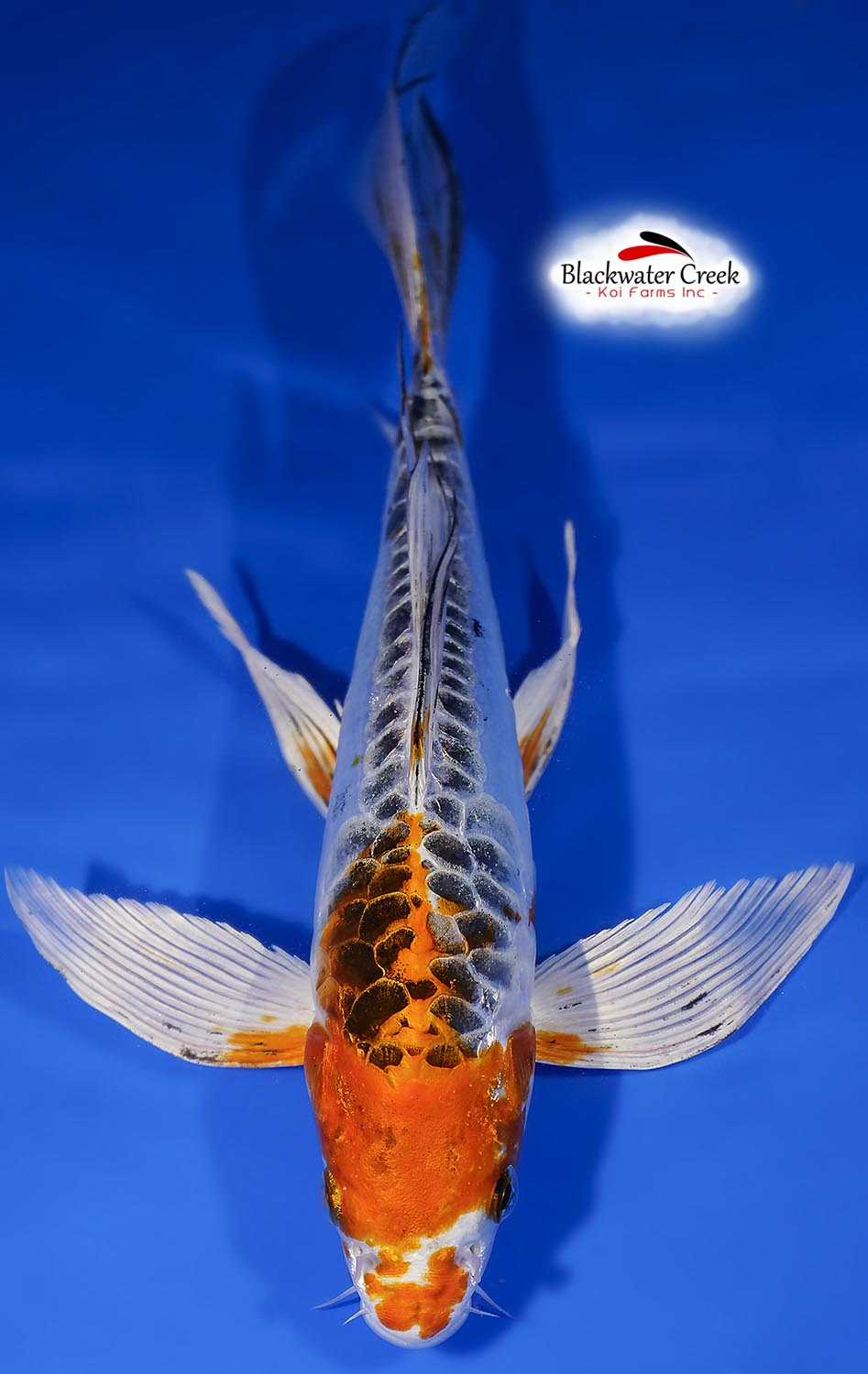 Star of the show 11 beni kikokuryu butterfly koi female for Koi fish retailers