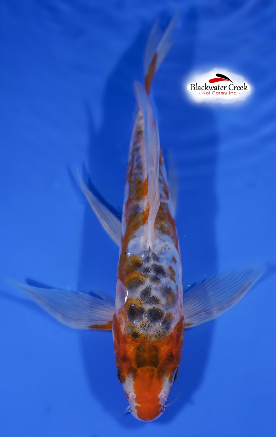 Small high quality koi fish for sale for Tiny koi fish
