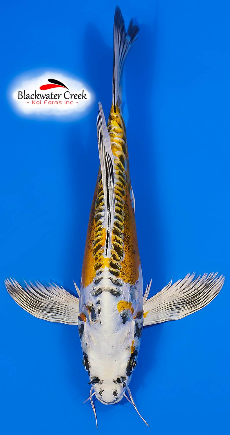 Small high quality koi fish for sale for Large butterfly koi for sale