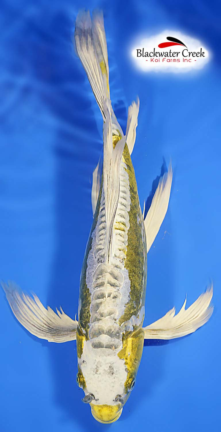 Butterfly koi fish for sale for Small koi fish
