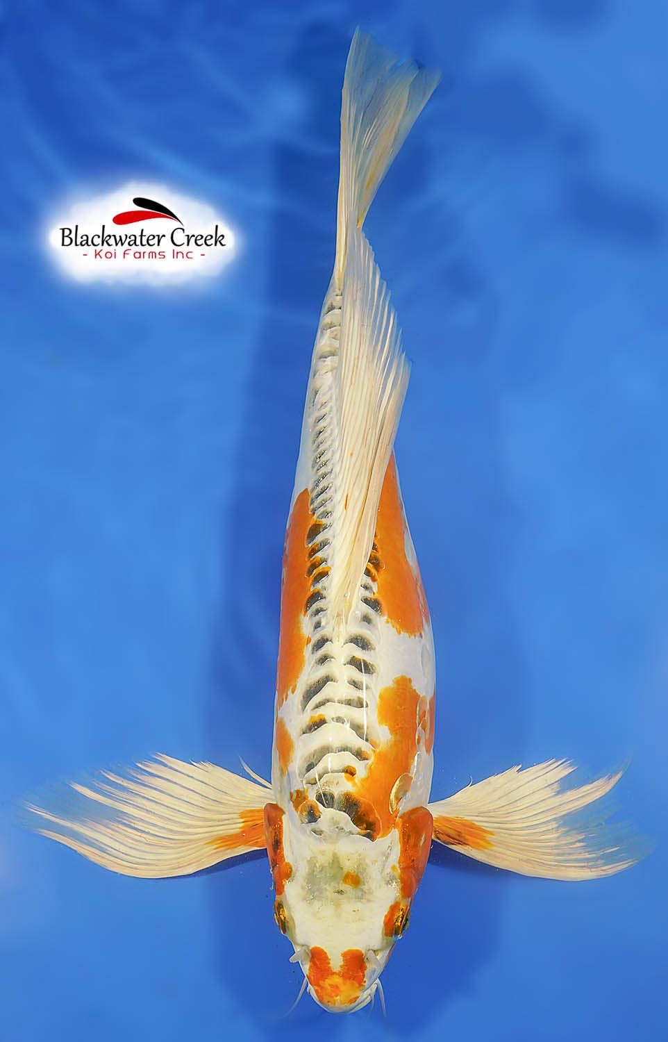 Big 17 kin kikokuryu butterfly koi e99038 for Koi hatchery
