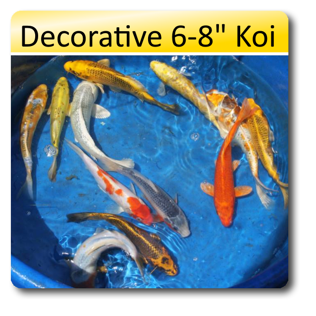 Decorative 6 8 koi 6 8 decorative standard fin koi dec68 black water koi farms - Decoratie kooi ...