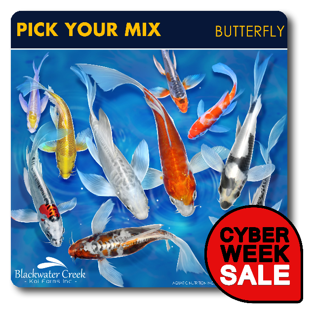 Pick your color mix butterfly free shipping pick your mix for Baby koi fish for sale cheap