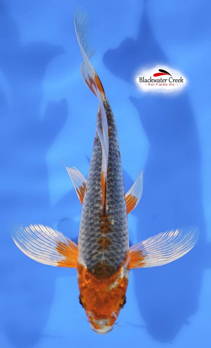Small high quality koi fish for sale for Small koi for sale