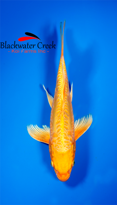 Orange peel 12 orenji ogon butterfly koi female b7055 for Cheap koi fish