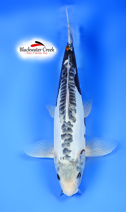 All products black water koi farms the best koi in the usa for Kumonryu koi fish