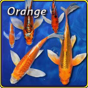 Pick your mix butterfly koi free shipping pick your mix for How much does a koi fish cost