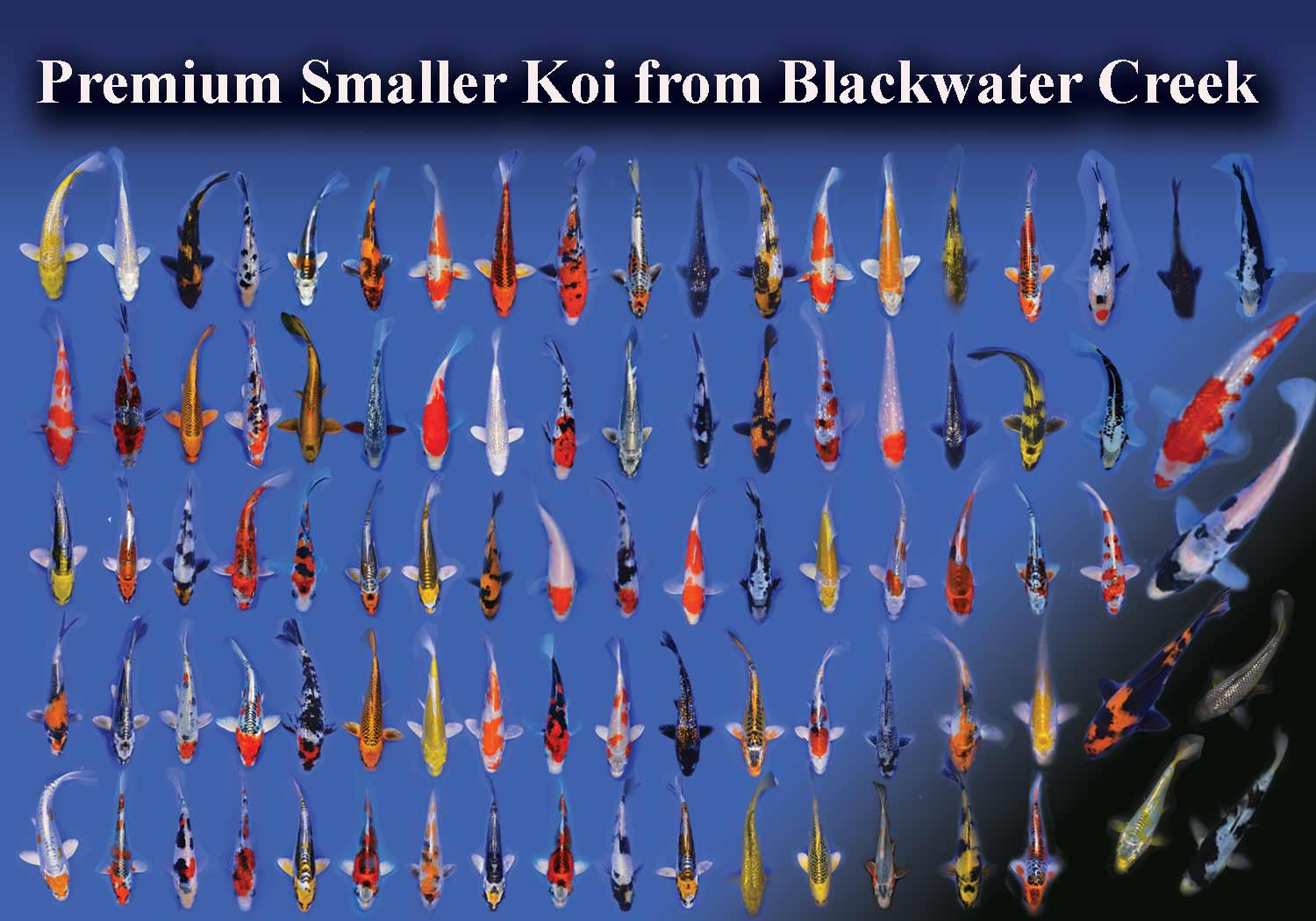 Pin koi varieties pictures on pinterest for Koi variety chart