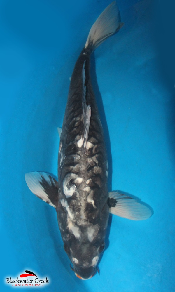 All products black water koi farms the best koi in the usa for All black koi