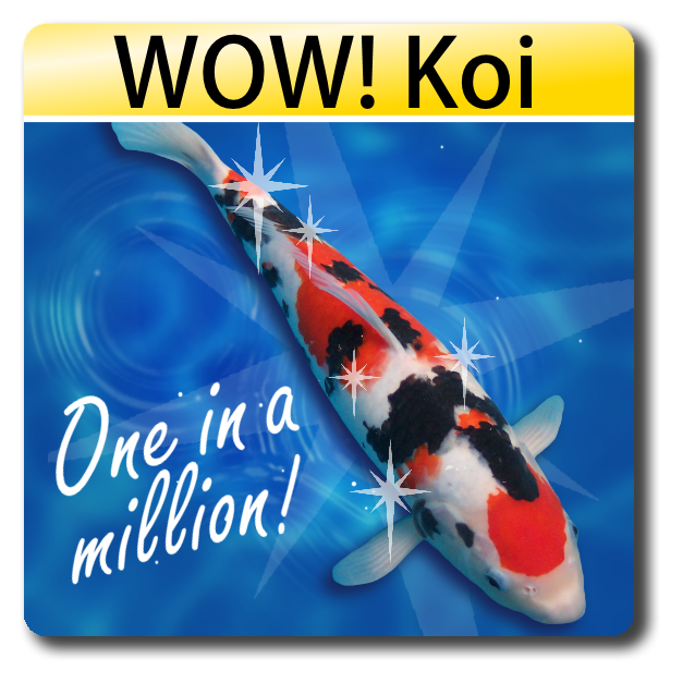 Wow Fish koi for sale