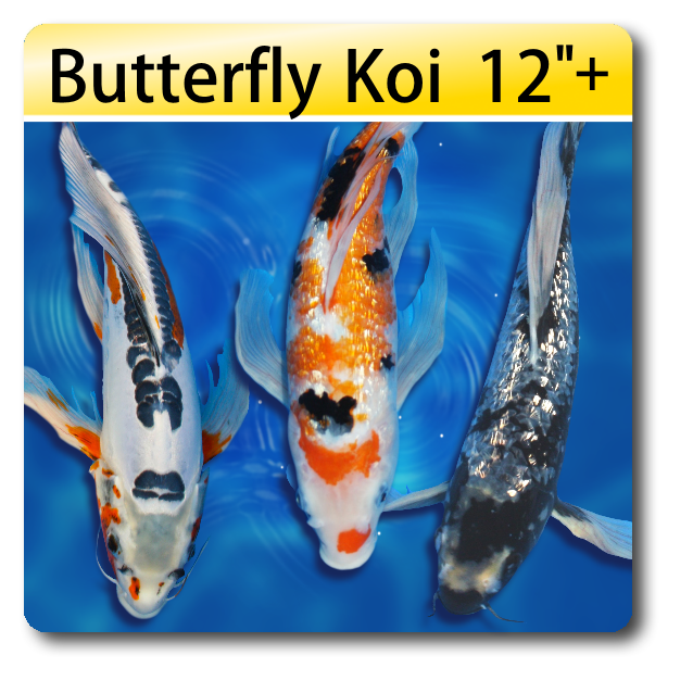 Koi fish for sale individual fish for Large butterfly koi for sale