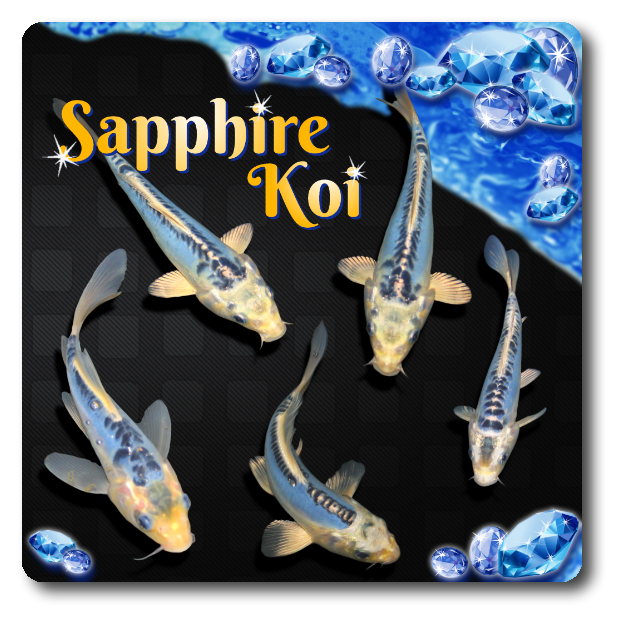 Sapphire Butterfly Koi Free Shipping Sapphire Butterfly 104 99 Black Water Koi Farms The Best Koi In The Usa