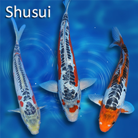 Pick your variety free shipping pick your mix variety pyv for Carpe koi shusui
