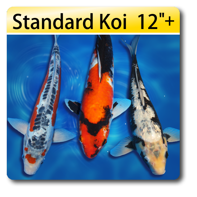 individual koi fish for sale