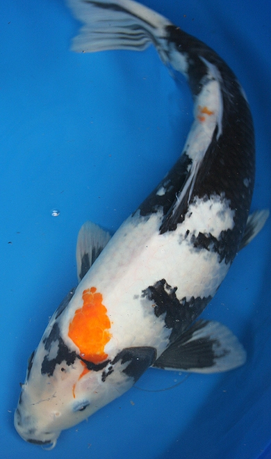 Ways to buy koi for Real blue koi fish