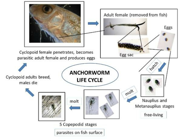 Life Cycle of Lernaea  Anchor Worm
