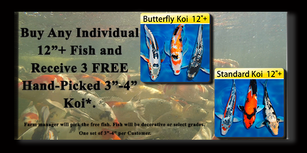 Koi fish for sale individual fish for Baby koi fish for sale cheap