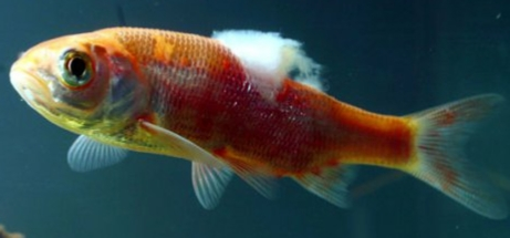 Cottonwool disease for Fish fungal infection