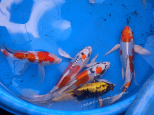 Koi for sale for High quality japanese koi