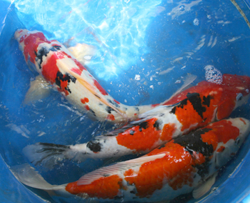 The gallery for biggest koi in the world for Biggest koi fish
