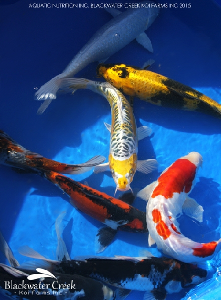 Koi info for All black koi fish