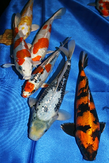 Ways to buy koi for Koi und goldfisch