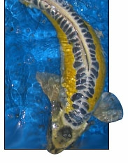Kawarimono koi for Yellow koi fish for sale