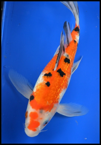 Butterfly koi for Koi carp fish information