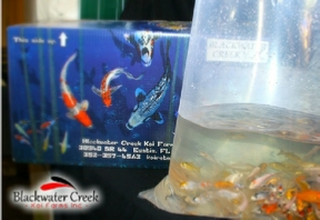 A bag of Baby Koi (Peanuts) ready to ship from Blackwater Creek Koi farms