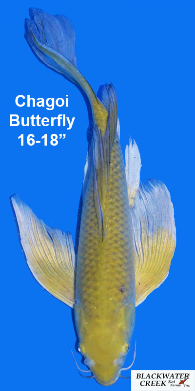 Chagoi Butterfly Koi for sale from Blackwater Creek Koi farms.