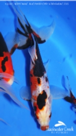 Blackwater Creek Goldfish for sale