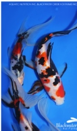 Goldfish that look like Koi