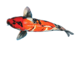 small koi from blackwater creek koi farms