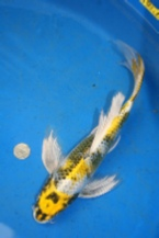 Yellow Showa Butterfly Koi from Blackwater Creek Koi Farms