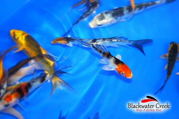 Baby Koi For Sale. We call them Peanuts