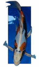 Benni Kikokuryu butterfly Koi from Blackwater Creek Koi Farms