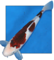 Budo Goromo Koi for sale from Blackwater Creek Koi Farms.