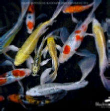 Butterfly Koi Fish For Sale From Blackwater Creek Koi Farms
