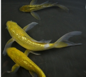 Chagoi Butterfly Koi for sale  from Blackwater Creek Koi Farms